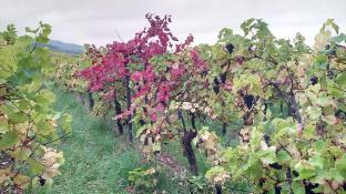 Bunte Weinstöcke