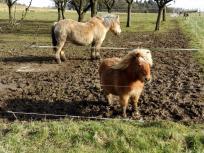 Robuste Pferdchen bei Kalenborn