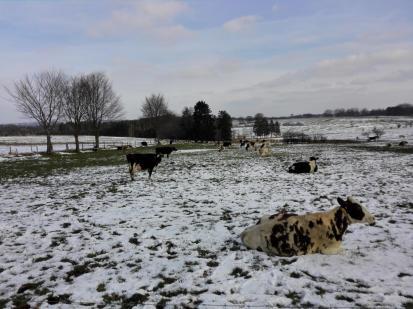 Robuste Rinder auf der Winterweide