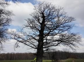 Der dreihundertjährige Odenwaldbaum