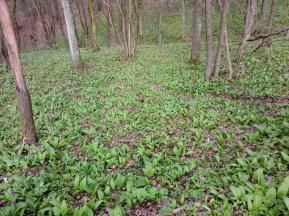 Blühender Bärlauch im Wald an den Mainhängen