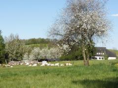Blick vom Womo-Stellplatz auf eine lustige Ziegenherde