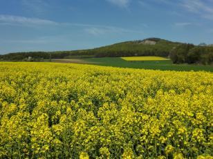 Gelb blüht der Raps auf den Feldern bei Kirchhasel