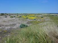 Interessante Flora zwischen der salzigen Ostsee und dem Süßwassersee