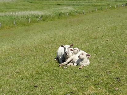 Diese drei Schafe kuscheln in der Sonne