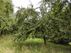 Wilder Apfelbaum mit vielen heranreifenden Früchten