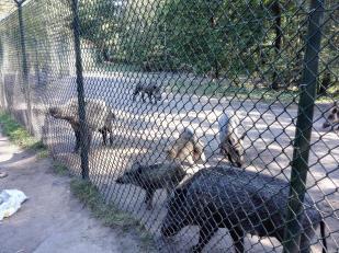 Wildschweine in einem großen Militärischen Sicherheitsbereich, der an den See grenzt. Sie haben sich daran gewöhnt, von Spaziergängern gefüttert zu werden.