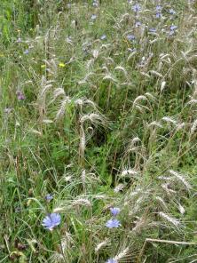 Blumen im Kornfeld