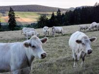 Die Kühe schauen neugierig nach Doxi