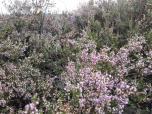 Lila blüht die Heide