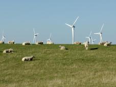 Schafe auf dem Deich bei Puttgarden