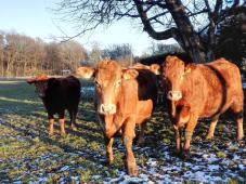 Zutrauliche Rinder