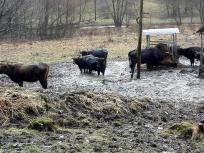 Die Rinder stehen knietief im Matsch