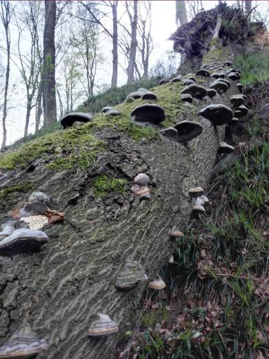 Pilze an einem schon vor langer Zeit umgestürzten Baum