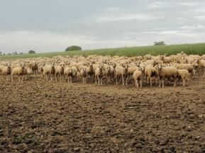 Schafherde auf ihrem Nachtlager