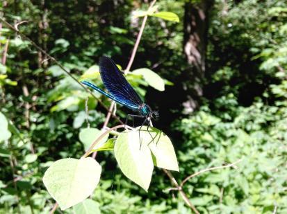 Libelle an der Bühler