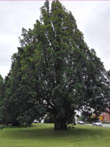 """""""Prächtiger Baum vor der alten Försterei"""