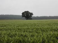 Ein großer Baum allein auf weiter Flur