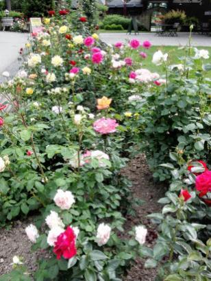 Schön gepflegte Rosenbeete an der Außengastronomie