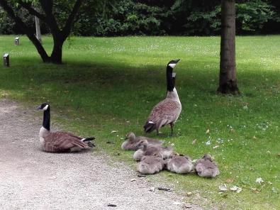 Im Park leben und brüten zahlreiche Wasservögel