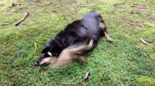Doxi wälzt sich auf dem moosbewachsenen Waldboden