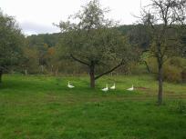 Freilaufende Gänse am Bauernhof