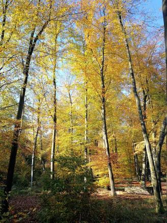 Buchenwald am Rande der Heidefläche