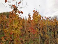 Herbstlich bunte Weinstöcke empfangen uns