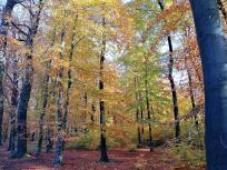 Wir laufen durch herbstlich bunten Buchenwald