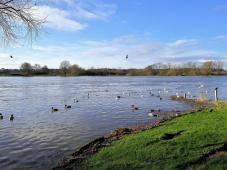Wasservögel auf der Maas