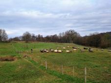 Schafe auf den Feldern oberhalb des Cranenweihers