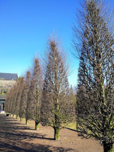 Perfekt gestutzte Bäume im Barockgarten