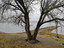 Einsamer Baum am Rheinufer