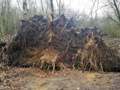 Mächtige Wurzelscheibe eines umgestürzten Baumes