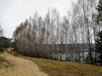 Birken am Rande des Reindersmeers