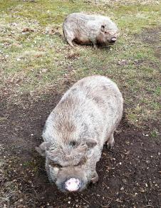 Leicht diabolisch dreinblickende Mini-Schweine auf einem Bauernhof am Rande der Bosserheide