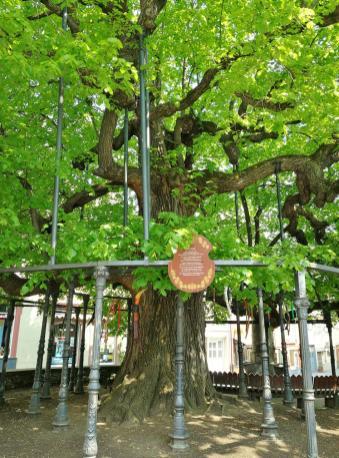Die 700-jährige Linde vor dem Rathaus am Marktplatz