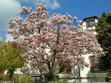 Prächtige Magnolie am Ortsrand von Idstein