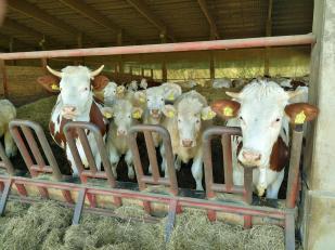 Glücklich futternde Kühe mit ihren Kälbern in eine Stall am Orstrand von Idstein