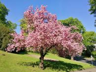 Prächtige Kirschblüte im Stadtgarten
