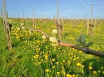 Die Weinstöcke treiben aus