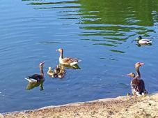 Zurück an der Lahn: Wasservögel mit ihrem Nachwuchs