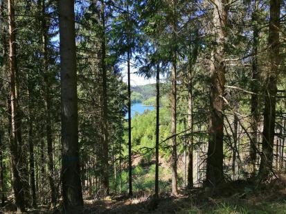 Blick durch den dichten Tannenwald hinunter zum See