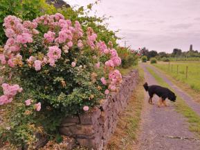 Rosen am Rand des Weinbergs