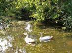 Wasservögel auf dem Pröbstingsee