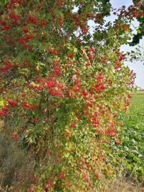 Rote Beeren - leider nicht genießbar