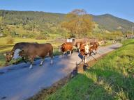 Wir müssen einer vorbeiziehenden Kuhherde Platz machen