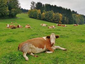 Entspannte Rindviecher beim Wiederkäuen