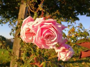 Am Wegesrand: Blühende Rosen
