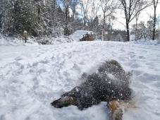 An einer Wegkreuzung im Wald rollt sich Doxi erst einmal schön im Schnee ab